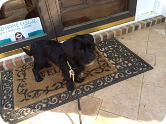Schnauzer (Miniature)/Cocker Spaniel Mix Dog for adoption in Raleigh, North Carolina - RAVEN
