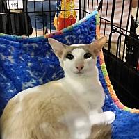 Oriental Cat for adoption in Riverview, Florida - Laska