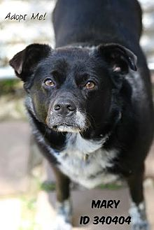 Border Collie Mix Dog for adoption in Camden, Delaware - Mary