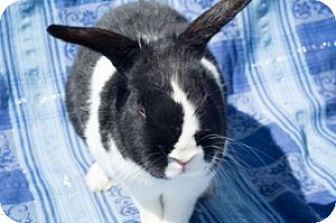 Dutch Mix for adoption in Montclair, California - Stormy