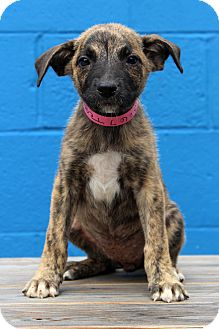 Shepherd (Unknown Type) Mix Puppy for adoption in Waldorf, Maryland - Teagan