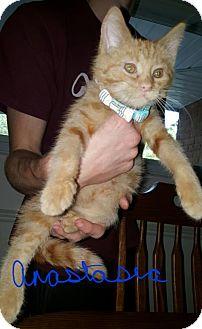 Domestic Mediumhair Kitten for adoption in Livonia, Michigan - Anastasia-ADOPTED