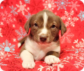Australian Shepherd/Basset Hound Mix Puppy for adoption in Yadkinville, North Carolina - Sleepy (7 Dwarfs)
