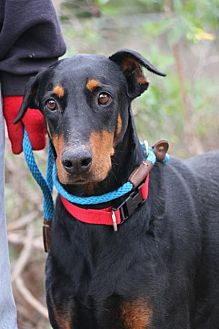 Doberman Pinscher Dog for adoption in Fillmore, California - Delilah