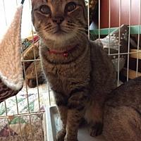 Adopt A Pet :: Eartha Kitten - Columbia, SC