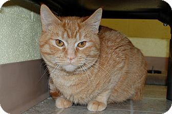 Manx Cat for adoption in Salem, West Virginia - Fireball