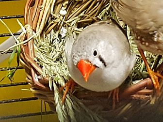 Finch for adoption in Edmonton, Alberta - Fp;