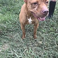 American Bulldog Mix Dog for adoption in Jackson, Mississippi - Mitch