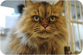 Persian Cat for adoption in Walker, Michigan - Lexy