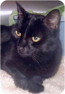Domestic Shorthair Cat for adoption in Grass Valley, California - Shadow *URGENT*