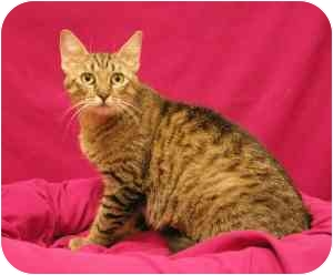 Domestic Shorthair Cat for adoption in Sacramento, California - Charity