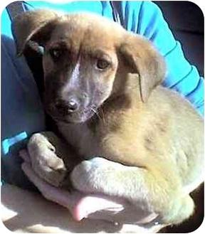German Shepherd Dog/Australian Shepherd Mix Puppy for adoption in Rolling Hills Estates, California - Dylan