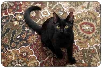 Domestic Shorthair Cat for adoption in Sterling Heights, Michigan - Trena - ADOPTED!