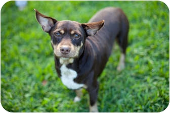 Chihuahua/Corgi Mix Dog for adoption in Homestead, Florida - Petey
