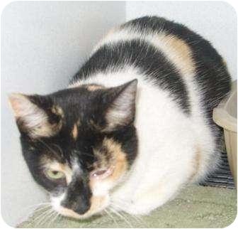 Domestic Shorthair Cat for adoption in Mt. Vernon, Illinois - Rockie