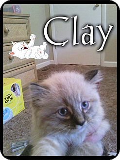 Himalayan Cat for adoption in Plainfield, Connecticut - Clay