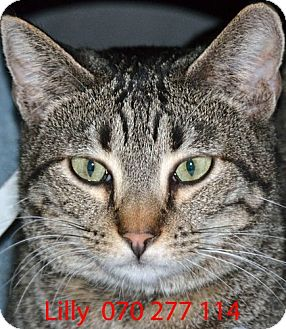 Domestic Shorthair Cat for adoption in Diamond Springs, California - Lilly
