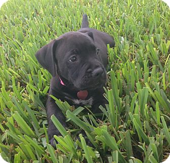 Labrador Retriever/Terrier (Unknown Type, Medium) Mix Puppy for adoption in Ft. Myers, Florida - Belle
