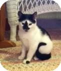 Domestic Shorthair Kitten for adoption in Winston-Salem, North Carolina - Snoopy