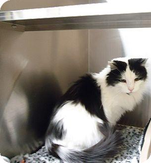 Maine Coon Cat for adoption in Fremont, Nebraska - Wiggie