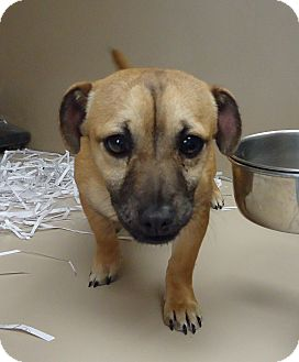 Chihuahua/Terrier (Unknown Type, Small) Mix Dog for adoption in Fremont, Nebraska - Sam
