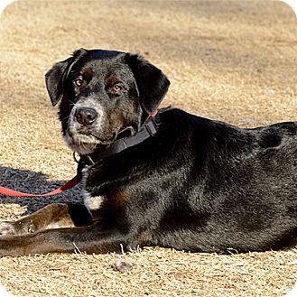 Labrador Retriever/Australian Cattle Dog Mix Dog for adoption in Stillwater, Oklahoma - Elias