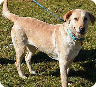 Labrador Retriever Mix Dog for adoption in Cincinnati, Ohio - Jeanie