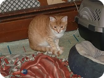 Domestic Shorthair Cat for adoption in Frederick, Maryland - Mikey