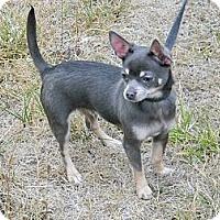 Adopt A Pet :: CHUY - cameron, MO