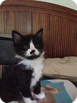 Domestic Shorthair Kitten for adoption in Pinehurst, North Carolina - Cherry