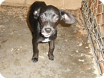 Cattle Dog/Labrador Retriever Mix Puppy for adoption in Falls Mills, Virginia - Frankie
