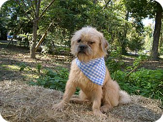 Shih Tzu Dog for adoption in Kittery, Maine - Buster