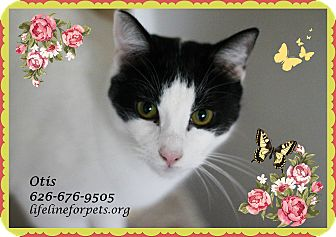 Domestic Shorthair Cat for adoption in Monrovia, California - Absolutely Perfect: OTIS