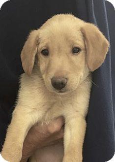 Golden Retriever/Labrador Retriever Mix Puppy for adoption in BIRMINGHAM, Alabama - Bounce