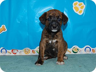 Boxer/Mountain Cur Mix Puppy for adoption in North Judson, Indiana - Penny Royal
