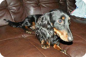 Dachshund Dog for adoption in Toronto, Ontario - Skippy
