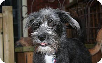 Standard Schnauzer/Terrier (Unknown Type, Medium) Mix Dog for adoption in London, Ontario - Dolly