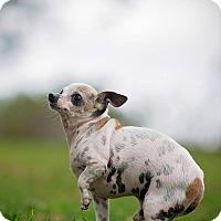 Adopt A Pet :: Perrito Ellen - Vista, CA