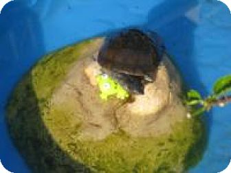 Turtle - Water for adoption in Christmas, Florida - African Side-neck turtle