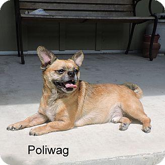 Pug Mix Dog for adoption in Slidell, Louisiana - Poliwag