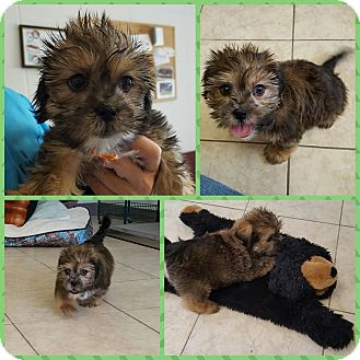 Shih Tzu/Yorkie, Yorkshire Terrier Mix Puppy for adoption in Umatilla, Florida - Buster