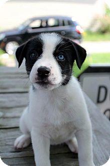 Husky/Beagle Mix Puppy for adoption in Grand Rapids, Michigan - Cindy (Cinderella)