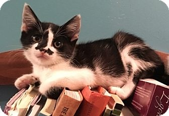Domestic Shorthair Kitten for adoption in Barrington, New Jersey - April