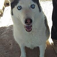 Adopt A Pet :: Snoopy - Las Vegas, NV