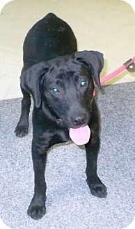 Labrador Retriever Mix Dog for adoption in Eastpoint, Florida - Bubba