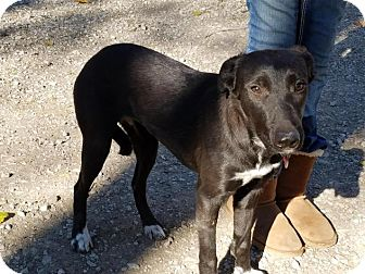 Labrador Retriever Mix Dog for adoption in Lincoln, Nebraska - Hope