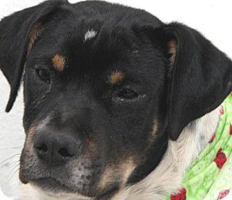 Pointer/Border Collie Mix Dog for adoption in Melrose, Florida - Marty