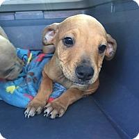 Adopt A Pet :: Mara Jade - Gainesville, FL