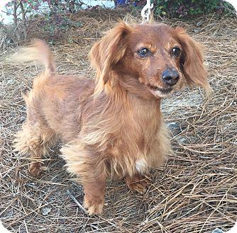 Dachshund Dog for adoption in Mount Pleasant, South Carolina - Mia