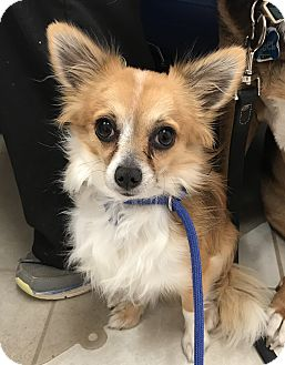 Chihuahua/Papillon Mix Dog for adoption in Chino Valley, Arizona - Kermit